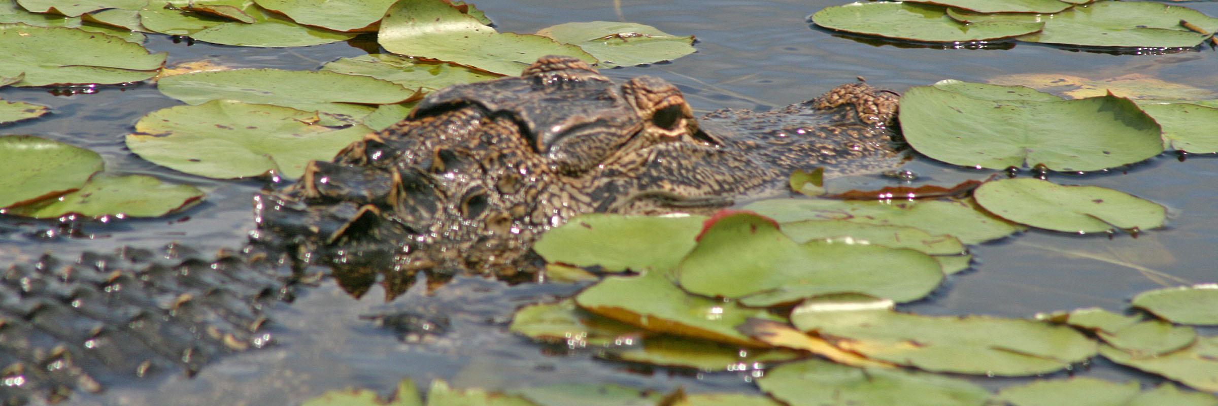 alligator-2-2400